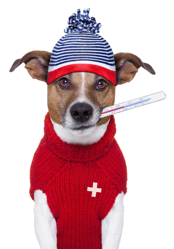 terrier wearing cap and sweater with a thermometer