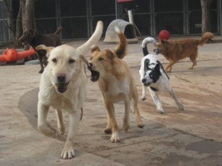 same weight dogs play together at Critter Camp in Amarillo