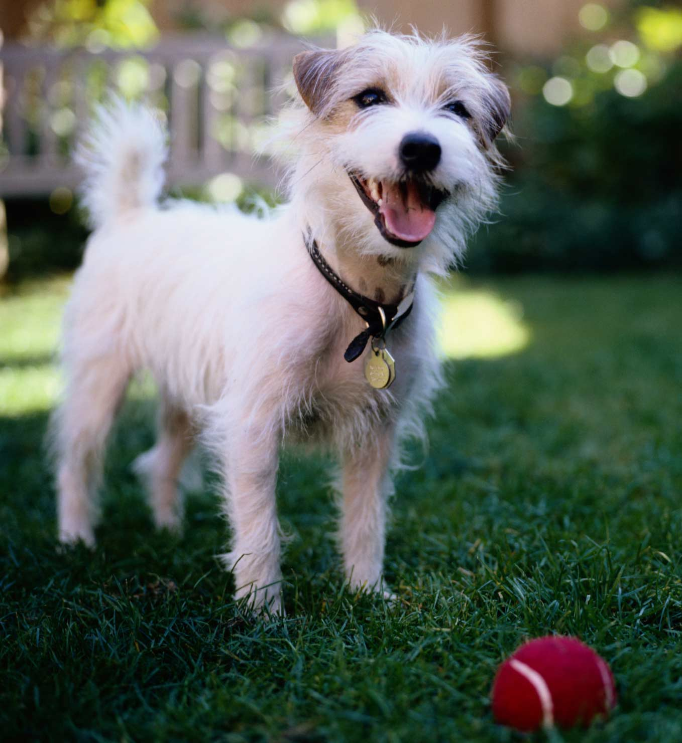 public_domain_Jack-Russell-Terrier