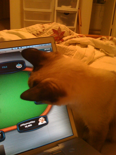 Poker-playing cat Einstein loves playing poker on the computer.
